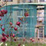Frühlingserwachen beim Wolkenpavillon im Innenhof der Alterswohnsiedlung Schönegg in Brugg AG